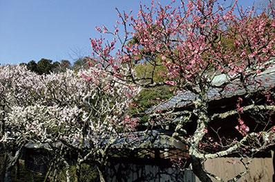 """""""花の寺""""と呼ばれる東慶寺。2月は梅が見ごろです。"""