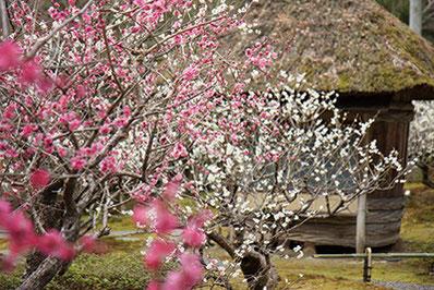 『しょうざん』庭園の酒樽茶室と、見事に咲く紅白の梅の花。