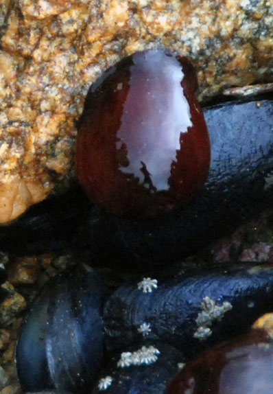 Glistening in muted light the wonderful purple-red nipple of a closed sea anemone on Ulva Island. Note the beautiful star-shaped barnacles on the blue mussel beneath it.