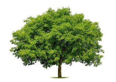 Baumkataster Baumbewirtschaftung Baumgutachten Baumkontrolle Baumdiagnosen