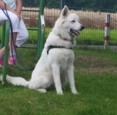 Diego, weißer Schäferhund