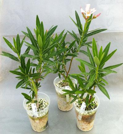 oleander bewurzeln oleander haus. Black Bedroom Furniture Sets. Home Design Ideas