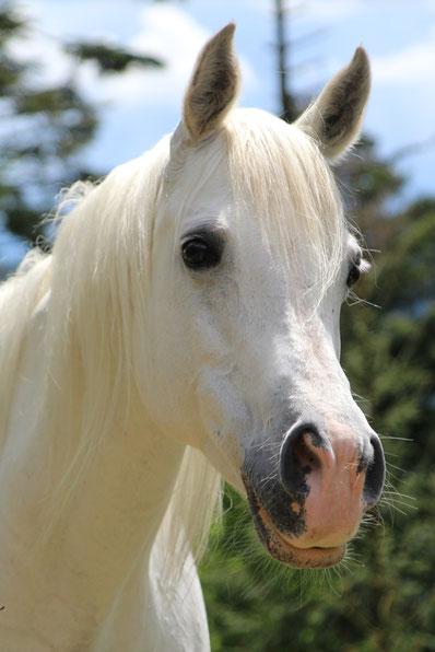 *1996 purebred Spanish Arabian mare