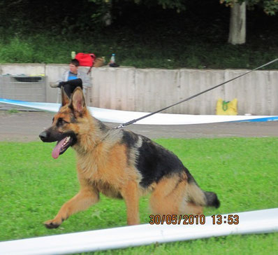 Нарния Штольц Фатерланд-победительница класса щенков,2-е место на Бэсте щенков