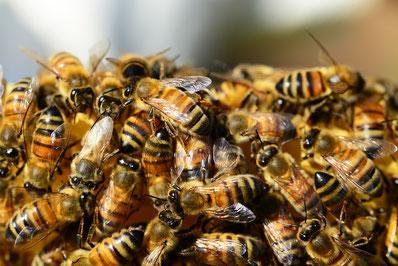 Honigbienenwabe