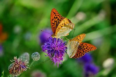 Schmetterlinge an Diesel