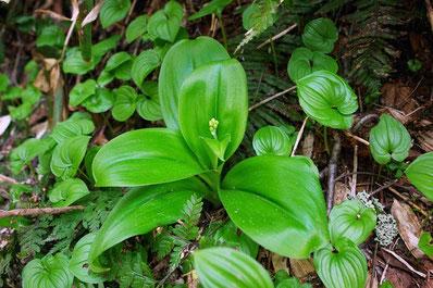 ツバメオモトの蕾。この植物は花もいいが葉が素晴らしい!