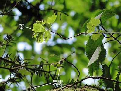 ヤシャビシャク (夜叉柄杓) ユキノシタ科 スグリ属