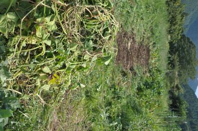 自然栽培 カボチャ 農業体験 野菜作り教室 さとやま農学校