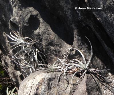 Cryptanthus leopoldo-horstii