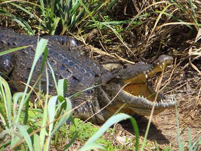 Auf Cozumel gibt es grosse Salzwasser-Krokodile.