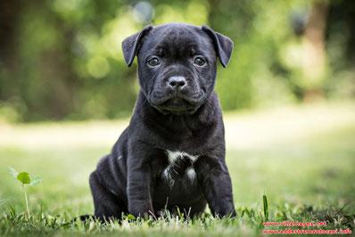 un cucciolo Staffordshire Bull Terrier in tutta la sua espressività