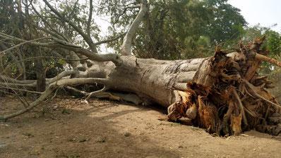 In Tubakuta ist der uralte Baobab-Baum plötzlich umgefallen....
