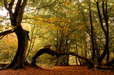 Urige Bäume im Urwald Sababurg / Reinhardswald Sven Kralemann