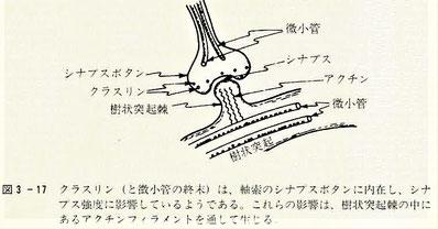 微小管がシナプス強度に影響を与える