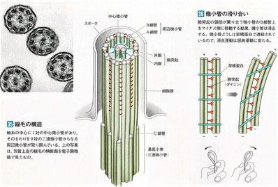 微小管の構造