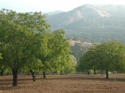 Walnussbäume auf Manzanita Major im Frühjahr (oben auf dem Titelbild im Herbst)