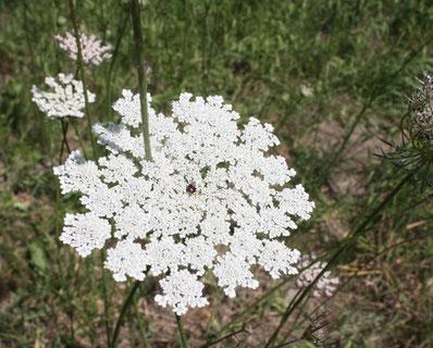 Das Erkennungsmerkmal: Ein dunkler Punkt in der Mitte der Blüte
