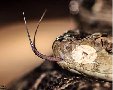 Giftschlangen Fauna Paraguay