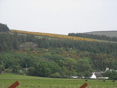 ゴースの咲く丘 2010年10月スコットランドで