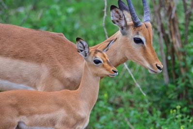 Eines der vielen im November geborenen Impala
