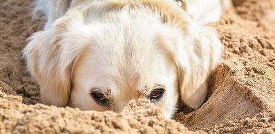 Un chien golden blanc le nez dans le sable par coach canin educateur canin dressage chien angoulême