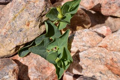 Aristolochia paucinervis, Djebel Lekst, Anti-Atlas sud-occidental, 2018, ©Frédérique Courtin