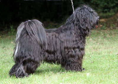 Srinagar Danda Fu-Yeshi Black Jewel - male - 21 month old