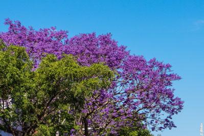Blühender Jacaranda Baum in Buenos Aires