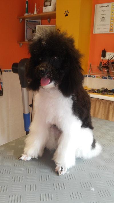 Amico beim schickmachen im Salon :-)