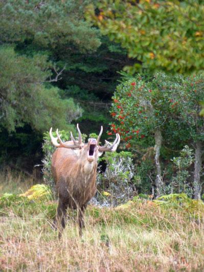 Brame du cerf dans les Pyrénées