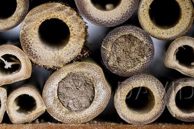 Mit einigen Wochen Verspätungen hat die Rote Mauerbiene (Osmia bicornis) jetzt ihre ersten Brutzellen vollendet. Zeit war's!