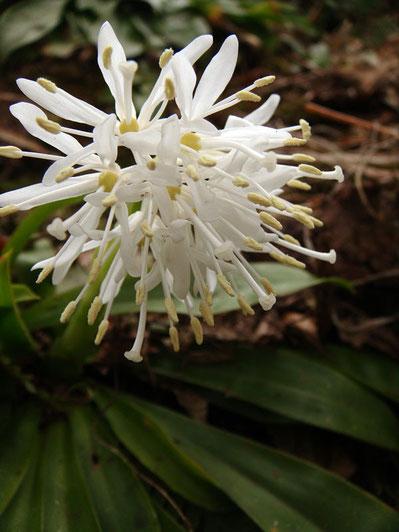 2011.04.11 新潟県長岡市  花弁は純白、葯はクリーム色