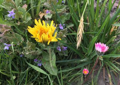 Ein kleines Wildblumen-Gärtli im Hundegehege
