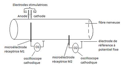 Principe du montage expérimental permettant de mesure le passage du message nerveux dans une fibre nerveuse à l'aide d'électrodes. Source :