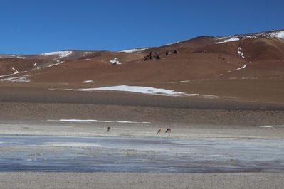 vigognes buvant à la lagune