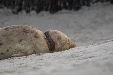 Dieses Robbenweibchen konnte von einer Schnur um den Hals befreit werden.
