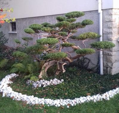 Taille Niwaki -année 2- sur arbuste à Perrigny dans le Jura (39)
