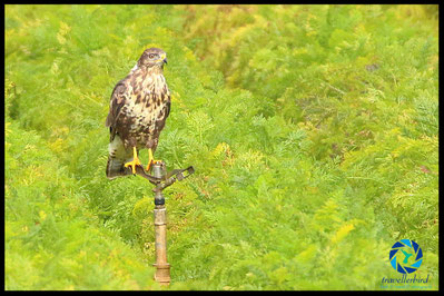 Common buzzard in a field