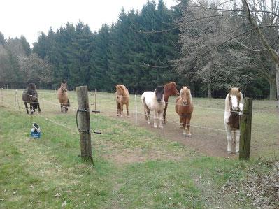 Notre troupeau de Chevaux Islandais