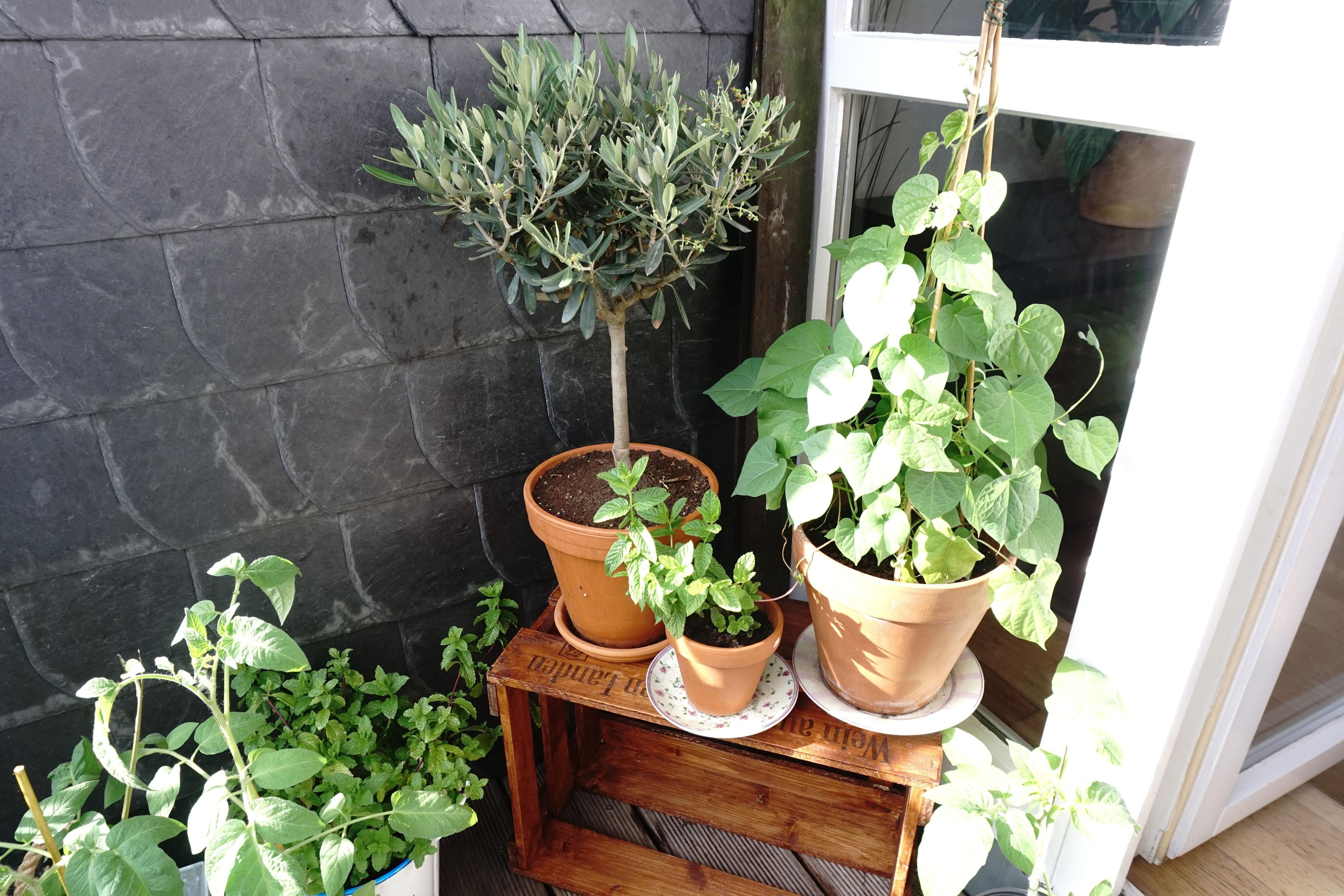 olivenbaum natur rhein. Black Bedroom Furniture Sets. Home Design Ideas