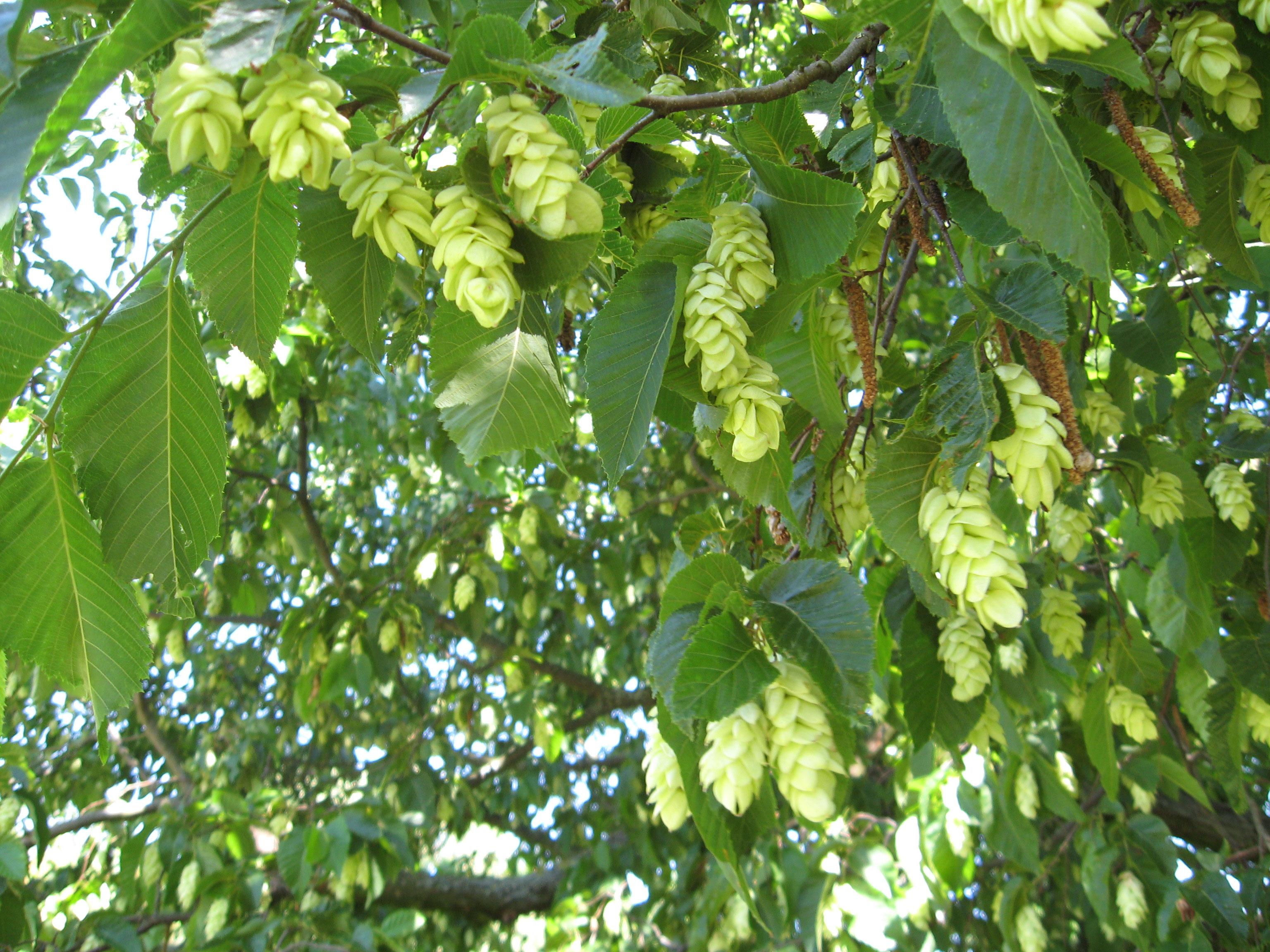 Pflanzenportrait die hopfenbuche ostrya carpinifolia torsten schlicht gartenplanung - Gartenplanung hannover ...