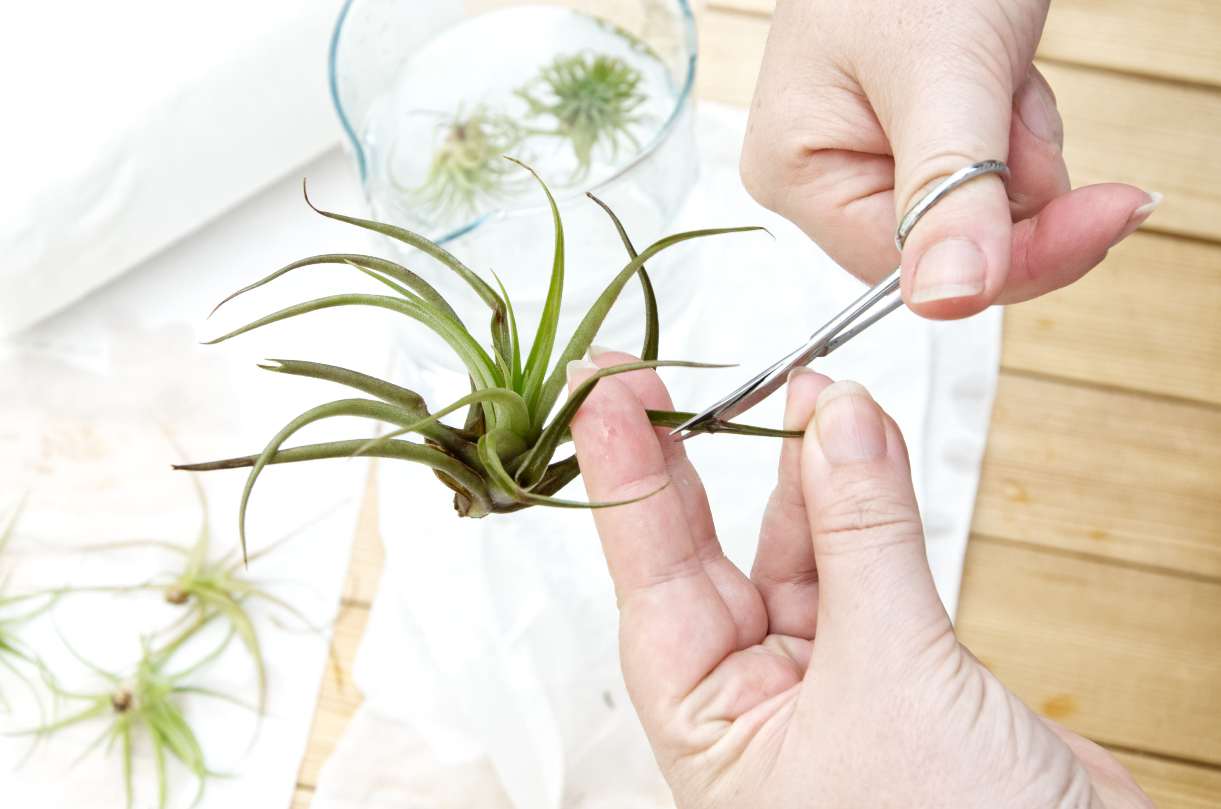 How To Revive Your Air Plants Pasinga