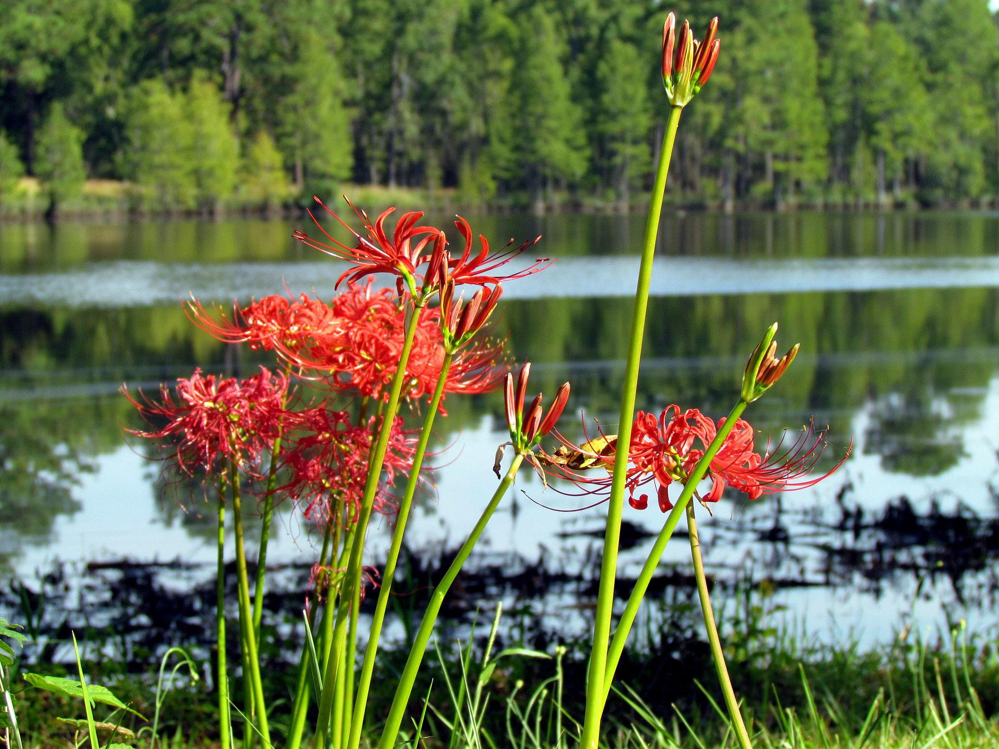 Red spider lily higanbana uedasokochanoyu izmirmasajfo