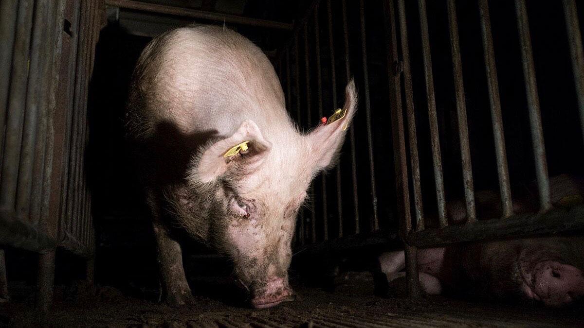 Undercover für Tiere - Interview mit Tierrechtler Jan Peifer ...