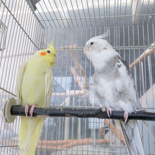 オカメインコ 鳥友