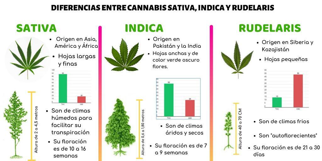 Diferencias Entre Cannabis Sativa Indica Y Rudelaris Página Web De Cannabismedicinalarg