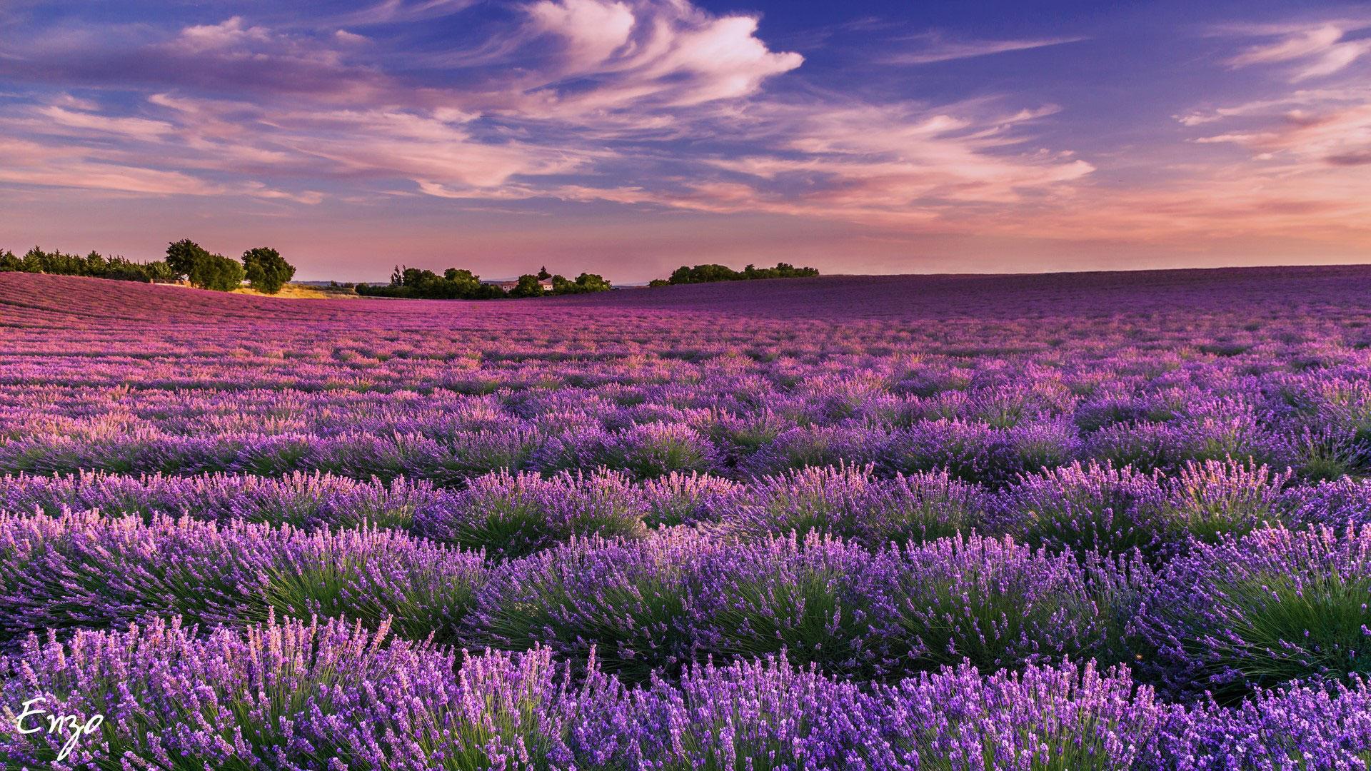 Vertu De La Lavande lavender fields in provence - france - photographe mariage