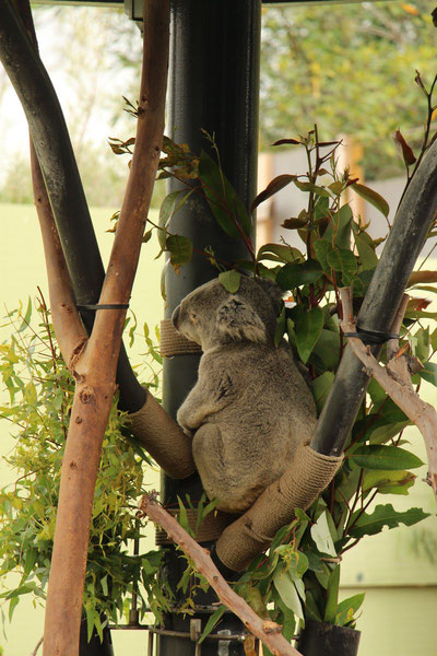 San Diego Zoo Koalas Travel with Toddler and Baby