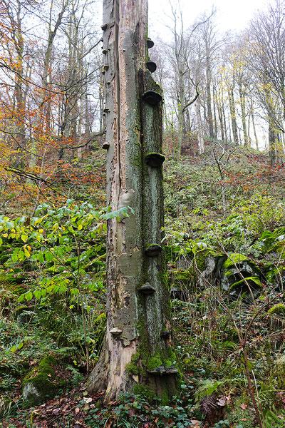 Eine weitere Baumpilzgruppe.